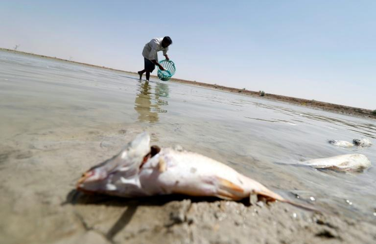 An Iraqi man collects dead fish from a reservoir at a fish farm north of Basra in southern Iraq, on August 29, 2018 (AFP Photo/Haidar MOHAMMED ALI)