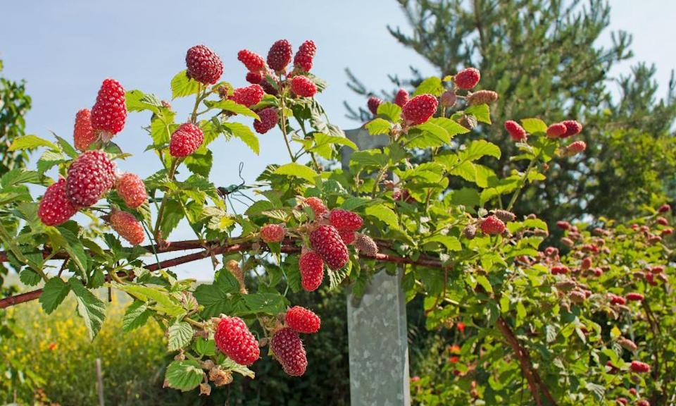 Tayberries are named after the River Tay in Scotland