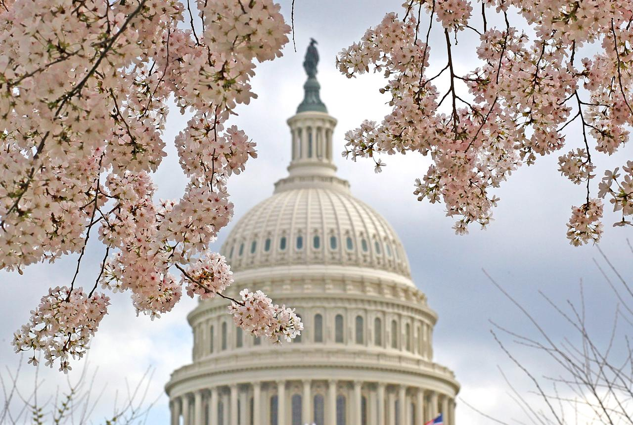 A Dogwood tree is in full bloom in front of the U.S. Capitol on March 19, 2012 in Washington, DC. Unseasonably warm weather has caused Washington's spring flowers and the famous cherry blossoms to bloom early.  (Photo by Mark Wilson/Getty Images)