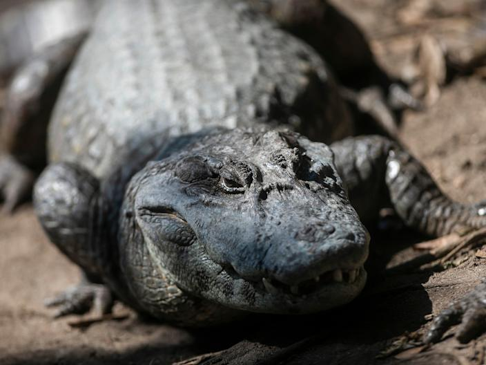 <p>An alligator basks in the sun beside polluted water from a sub-basin of the Canal das Tachas</p> (Getty Images)
