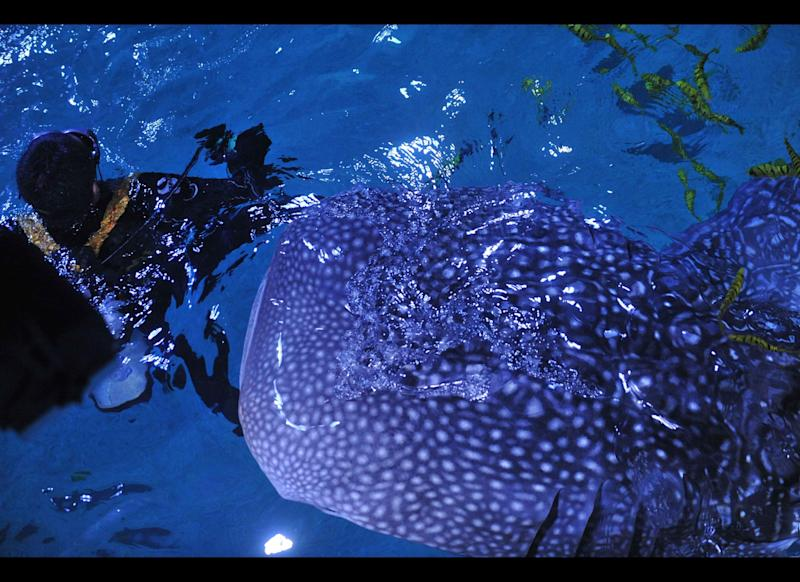 In this picture taken on September 23, 2011, an aquarium employee swims with a whale shark in an aquarium tank in the city of Yantai, northeastern Shandong province.