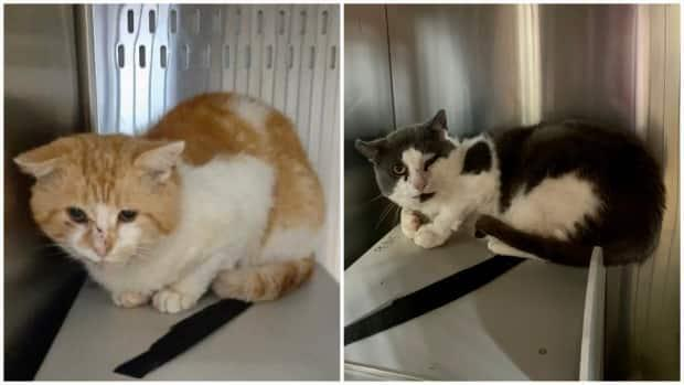 This photo shows Ernest, left, an orange and white cat, and Brock, a grey and white cat, inside enclosures at the P.E.I. Humane Society in Charlottetown. Ernest and Brock are the latest cats up for adoption through the society's Barn Buddies program. (P.E.I. Humane Society - image credit)