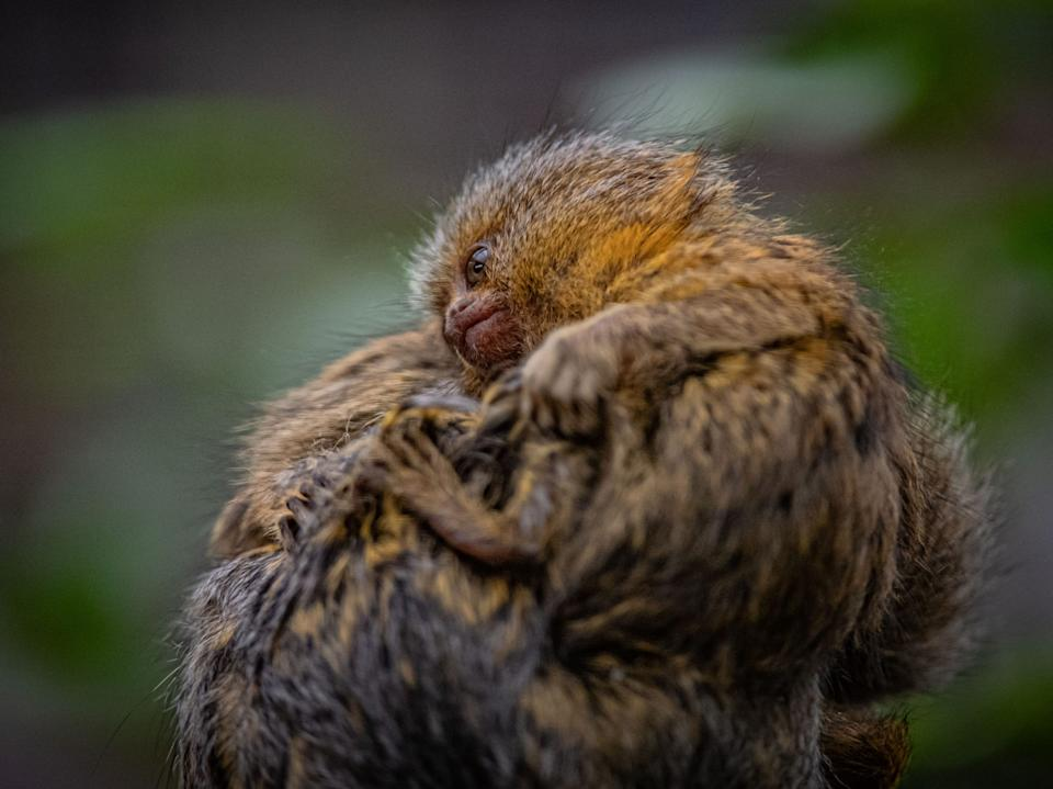 <p>Eastern pygmy marmosets are one of the smallest primate species in the world</p>Chester Zoo