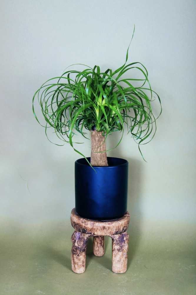 """The ponytail palm is another one of our favorite <a href=""""https://www.architecturaldigest.com/story/how-to-shop-for-a-houseplant?mbid=synd_yahoo_rss"""" rel=""""nofollow noopener"""" target=""""_blank"""" data-ylk=""""slk:plants"""" class=""""link rapid-noclick-resp"""">plants</a> that'll make a great gift. $35, Grounded Plants. <a href=""""https://grounded-plants.com/products/ponytail-palm"""" rel=""""nofollow noopener"""" target=""""_blank"""" data-ylk=""""slk:Get it now!"""" class=""""link rapid-noclick-resp"""">Get it now!</a>"""