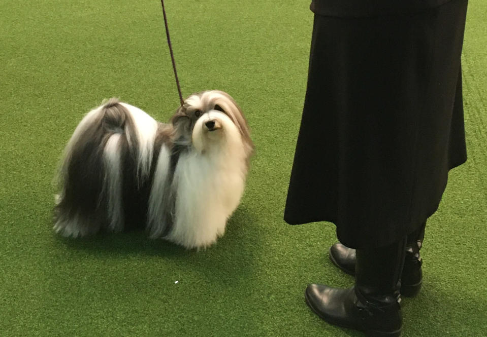 Bono the Havanese poses with handler Taffe McFadden on the way to a best of breed win at the Westminster Kennel Club dog show in New York on Monday, Feb. 10, 2020. Bono finished second overall in the event last year. (AP Photo/Ginger Tidwell-Walker)