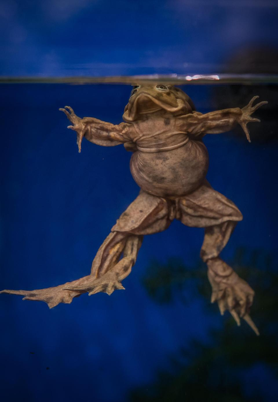 The Lake Titicaca frogs absorb oxygen from water through saggy folds of excess skin (Chester Zoo/PA)