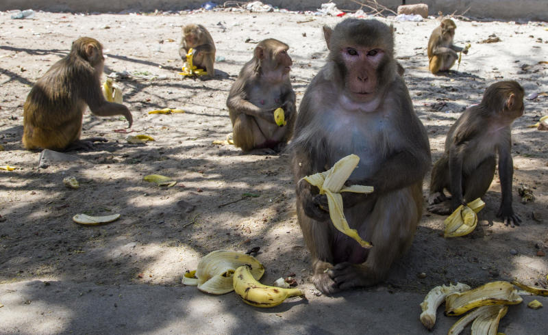 Monkeys snatch COVID-19 blood samples from college in India