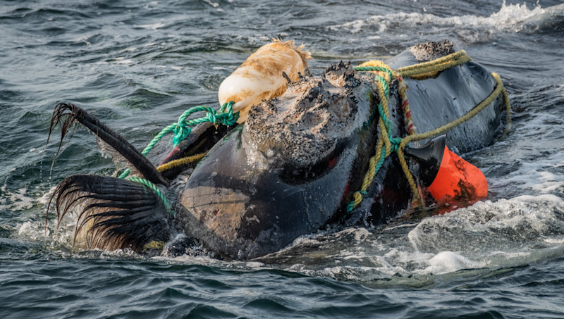 Close up of a North Atlantic whale tangled in fishing ropes and plastic