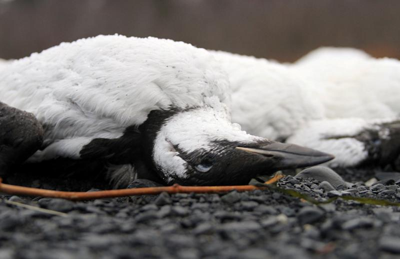 Dead common murres lie washed up on a rocky beach in Whittier, Alaska, on Jan. 8, 2016. (Photo: AP Photo/Mark Thiessen)