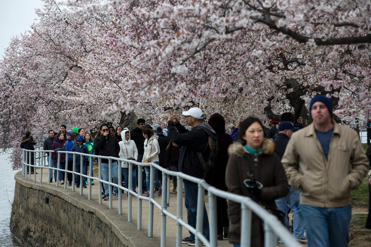 <p>People walk along the Tidal Basin as Cherry Blossoms bloom in Washington, March 26, 2017. (Zach Gibson/AFP/Getty Images) </p>