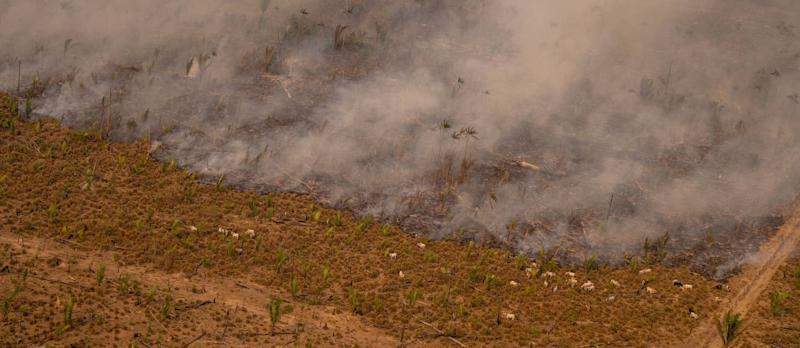 89213605_Cattle next to heat spots in Lábrea Amazonas state One month after a presidential decree fo.jpg