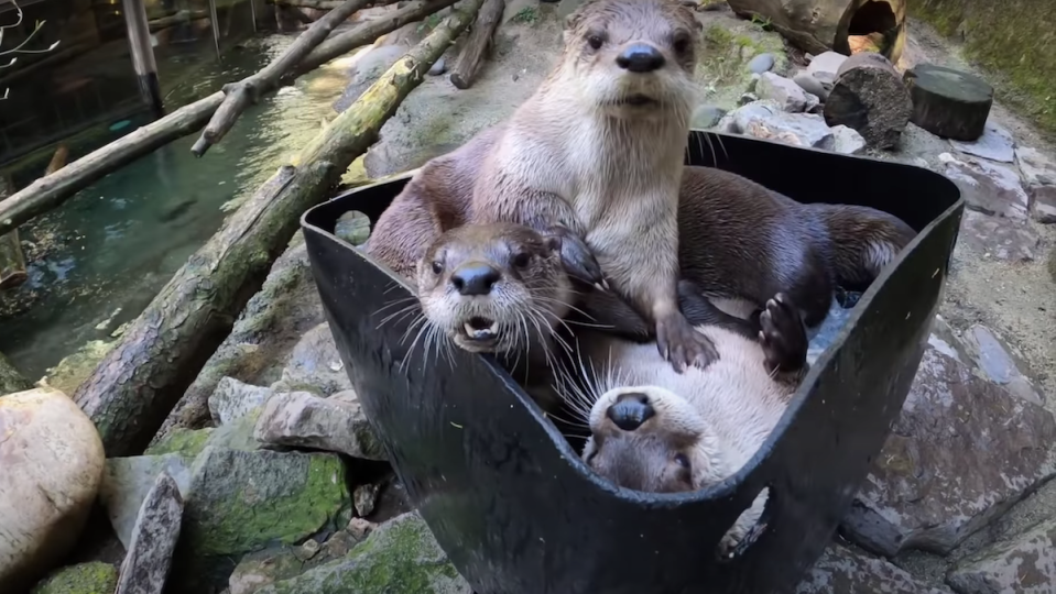 Three otters play in a barrel of ice.