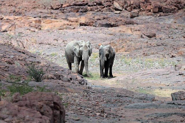 <p>Two elephants are seen moving through a dry riverbed in the Palmwag concession while searching for food. The elephants were part of a herd that moved across the riverbed eating vegetation and posing for hundreds of photos. (Photo: Gordon Donovan/Yahoo News) </p>