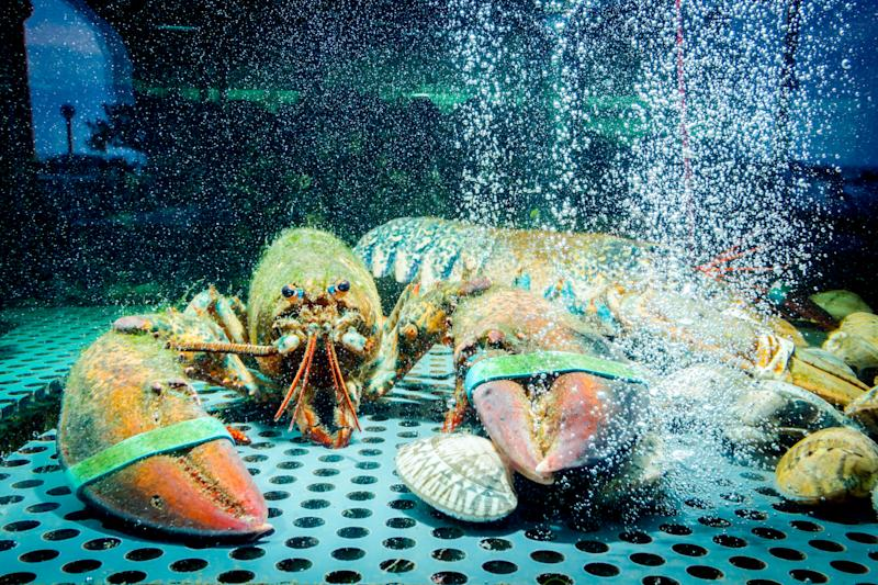A lobster inside a tank looking to camera. It's claws have been tied.