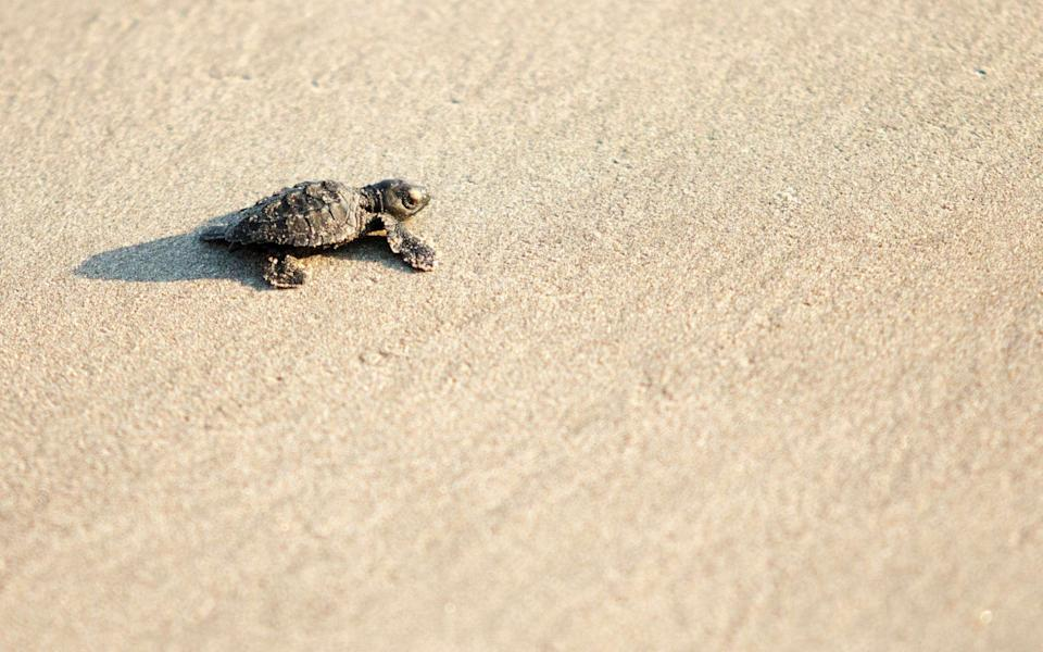 An Olive Ridley (Golfina) turtle hatchling crawls towards the Pacific Ocean in Acapulco, Guerrero state, Mexico - Pedro PARDO / AFP