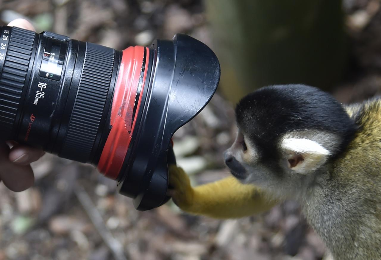 A Squirrel Monkey peers into a photographer's lens during a photocall at London Zoo in central London August 21, 2014. The annual weigh-in, which includes waist and height measurements, is conducted for the general wellbeing of the animals, and to help detect pregnancies in endangered species, as part of the Zoo's international breeding programmes. REUTERS/Toby Melville (BRITAIN - Tags: ANIMALS ENVIRONMENT)