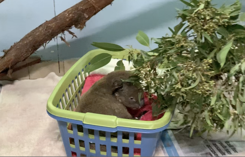 A double laundry basket with a sad looking koala in it. There are gum leaves to our right.