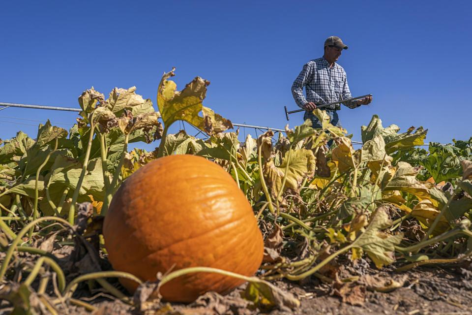 Matt Lisignoli takes a moisture sample from the soil of his pumpkin field in the North Unit Irrigation District on Wednesday, Sept. 1, 2021, near Culver, Ore. He purchased emergency water from a vineyard for $2,700, but water in that district ran out last month. He hasn't watered 16 acres of pumpkins in weeks and hopes they will survive for Halloween sales. (AP Photo/Nathan Howard)