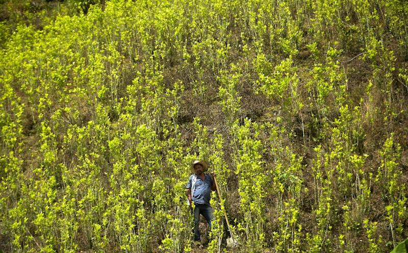 Colombia's coca plantations keep on spreading and have reached record levels, the United Nations says