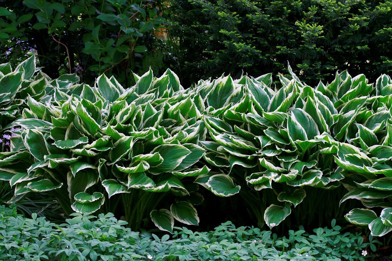 <p>These hardy perennial plants are as versatile as they are varied. They come in a range of sizes and foliage colors, and they work well in containers, as borders, and at the base of trees or shrubs. Hostas produce delicate flowers in the summer in shades of pink, lavender, or white.  </p>