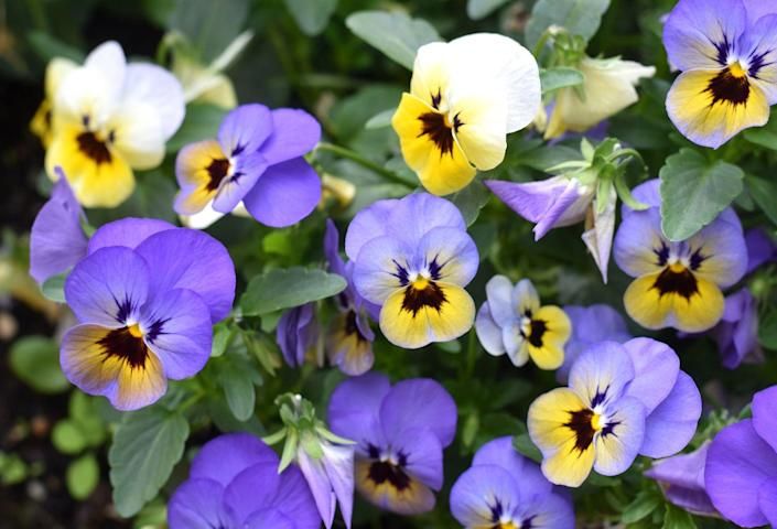 "<p>Looking to brighten your garden? Pansies come in bright colors. Featuring heart-shaped petals that overlap, these pretty flowers do best in cool weather. </p><p><strong>Bloom seasons</strong>: Year-round</p><p><a class=""link rapid-noclick-resp"" href=""https://www.amazon.com/Scuddles-Garden-Tools-Set-Gardening/dp/B07621FLPW/ref=sr_1_3_sspa?keywords=gardening+kit&qid=1584129763&sr=8-3-spons&psc=1&spLa=ZW5jcnlwdGVkUXVhbGlmaWVyPUEzRzFTWUVQSTFQTDFRJmVuY3J5cHRlZElkPUEwMDMzOTg2MkVDV0dSUUVSWVlOVyZlbmNyeXB0ZWRBZElkPUEwMTYyMTE3VVZYMUc5OVhJTDY1JndpZGdldE5hbWU9c3BfYXRmJmFjdGlvbj1jbGlja1JlZGlyZWN0JmRvTm90TG9nQ2xpY2s9dHJ1ZQ%3D%3D&tag=syn-yahoo-20&ascsubtag=%5Bartid%7C10063.g.35661704%5Bsrc%7Cyahoo-us"" rel=""nofollow noopener"" target=""_blank"" data-ylk=""slk:SHOP GARDENING KIT"">SHOP GARDENING KIT</a></p>"