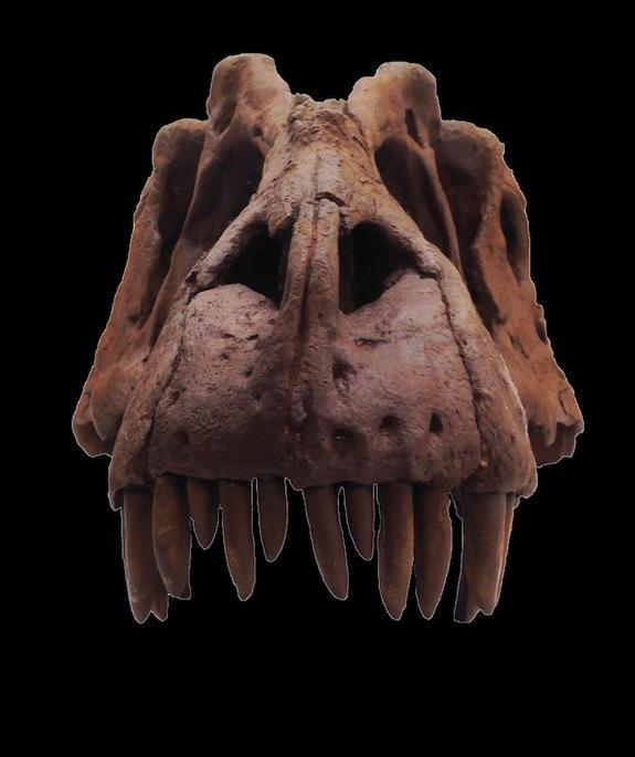 The skull of a newly discovered species of tyrannosaur, <i>Lythronax argestes</i>.