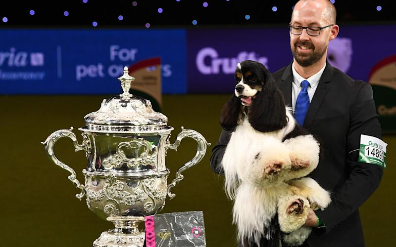 """""""Afterglow Miami Ink"""" (Miami), the American Cocker Spaniel is held by handler Jason Lynn beside his trophy as the winner of the Best in Show competition - Credit: Justin Tallis/AFP"""
