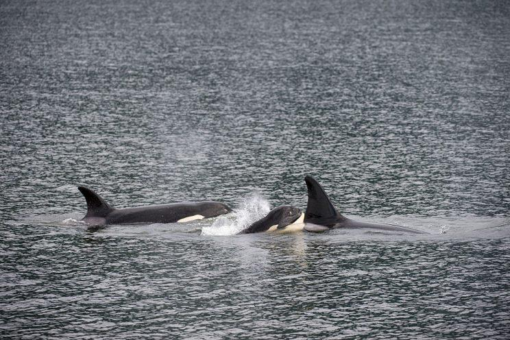 orcas killer whale menopause research