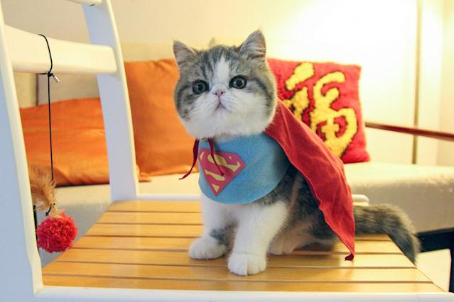 """<p>Super Kitty! Snoopy wears a homemade Superman outfit. Shirley says: """"We've been making the costumes for quite a while now.""""<br> (Photo: DailySnoopy/Caters News) </p>"""