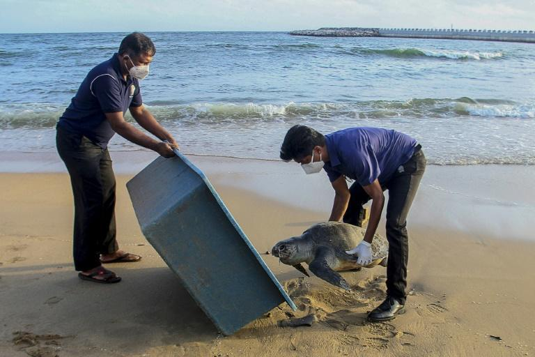 Wildlife officials remove the carcass of a sea turtle washed ashore at Galle Face beach in Colombo last week