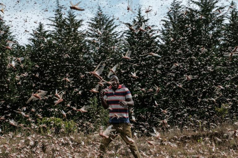 Billions of locusts swarmed East Africa in early 2020 threatening the vast region with a food crisis (AFP/Yasuyoshi CHIBA)