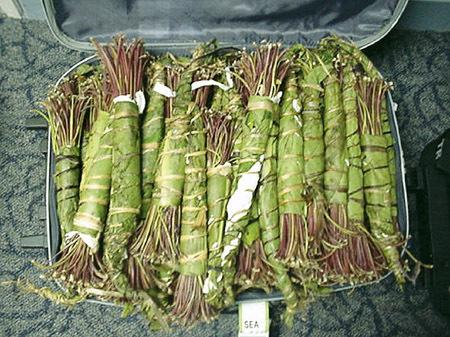 Why the Herbal Stimulant 'Khat' Was Banned