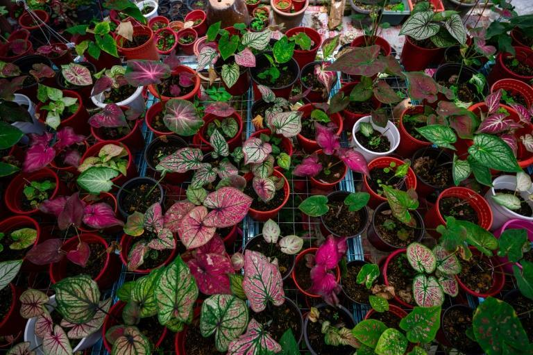 Once relatively cheap, prices of the broad-leaf caladium in Malaysia surged last year when lockdowns confined citizens to their homes