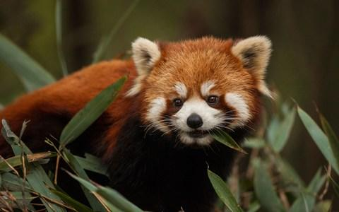 How cute? A red panda - Credit: Getty