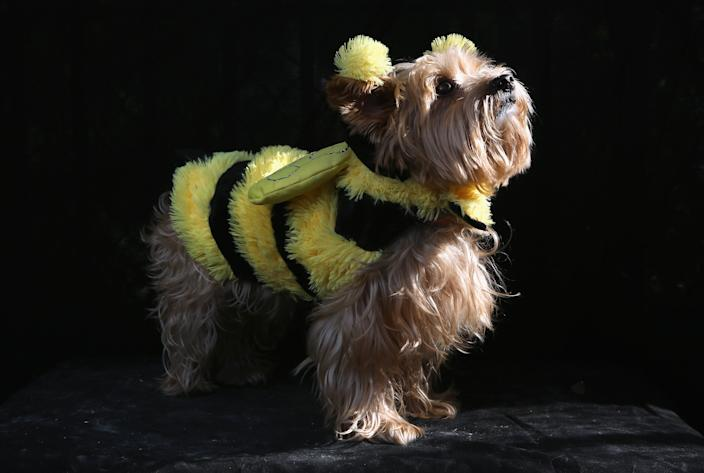 Daisy, a Yorkie, poses as a bumble bee at the Tompkins Square Halloween Dog Parade. (Photo by John Moore/Getty Images)