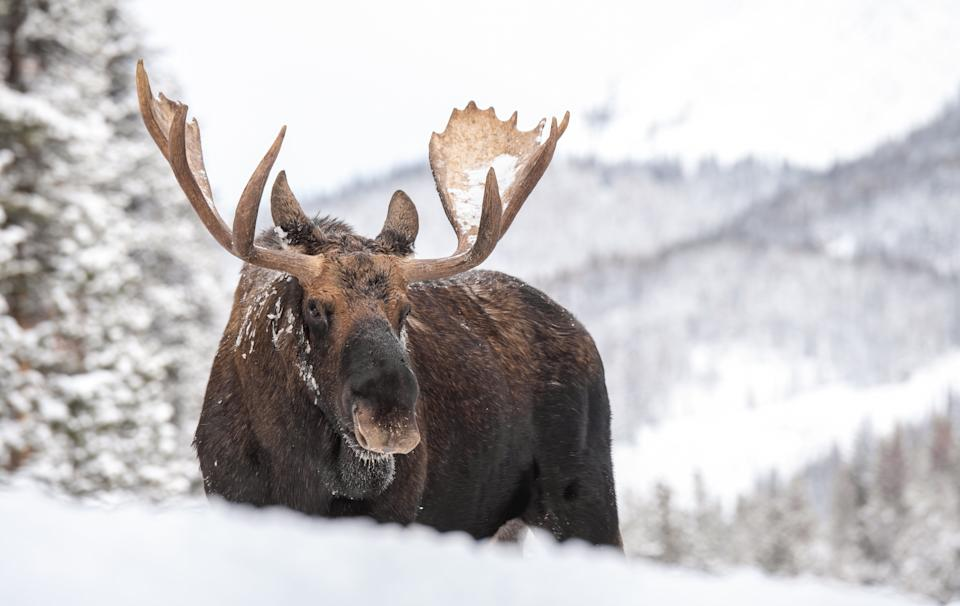 A moose in Jasper National Park, Alta. (Photo: Harry Collins via Getty Images)