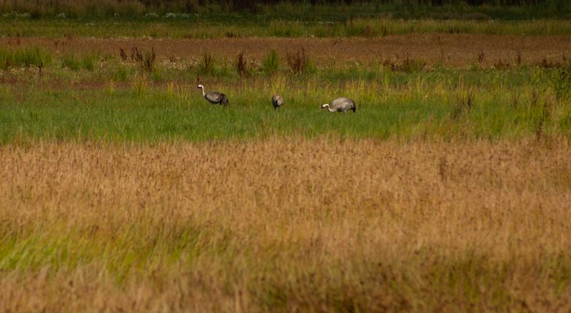 New fenland habitat could provide a home for cranes which have recolonised a nearby reserve (John Oliver)