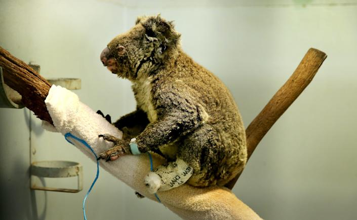 A koala recovers from burns on Nov. 29, 2019, in Port Macquarie, Australia. Hundreds have died inthe nation's recent drought-fueledfires.