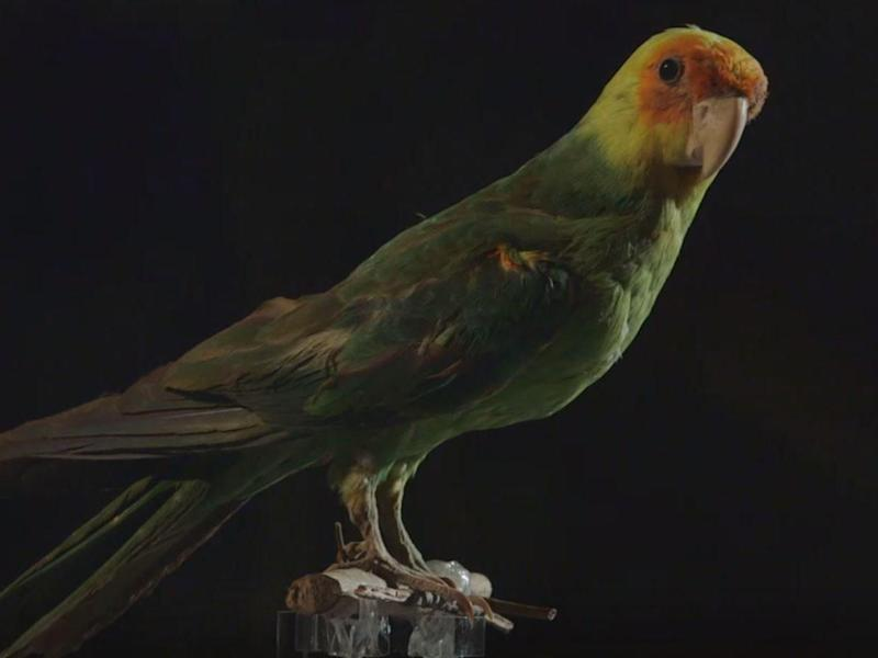 The Carolina parakeet was the only native neotropical parrot in the US: TV3 Alacarta