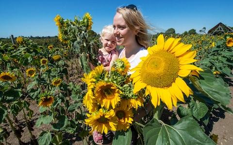 Lydia Perkins with daughter Millie(4) pick the early sunflowers at Sopley Farm in Dorset - Credit: Phil Yeomans/BNPS