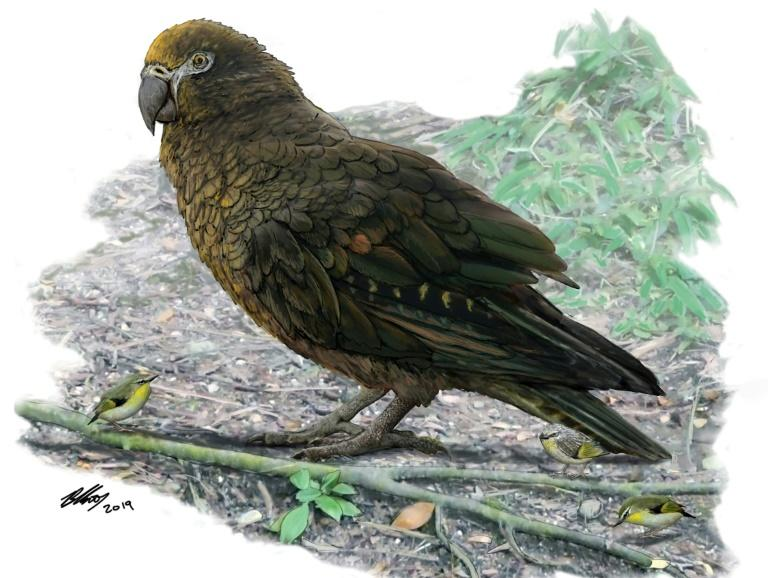 The bird would have stood about 1.0 metre (39 inches) tall and weighed up to 7.0 kilograms (15.5 pounds)