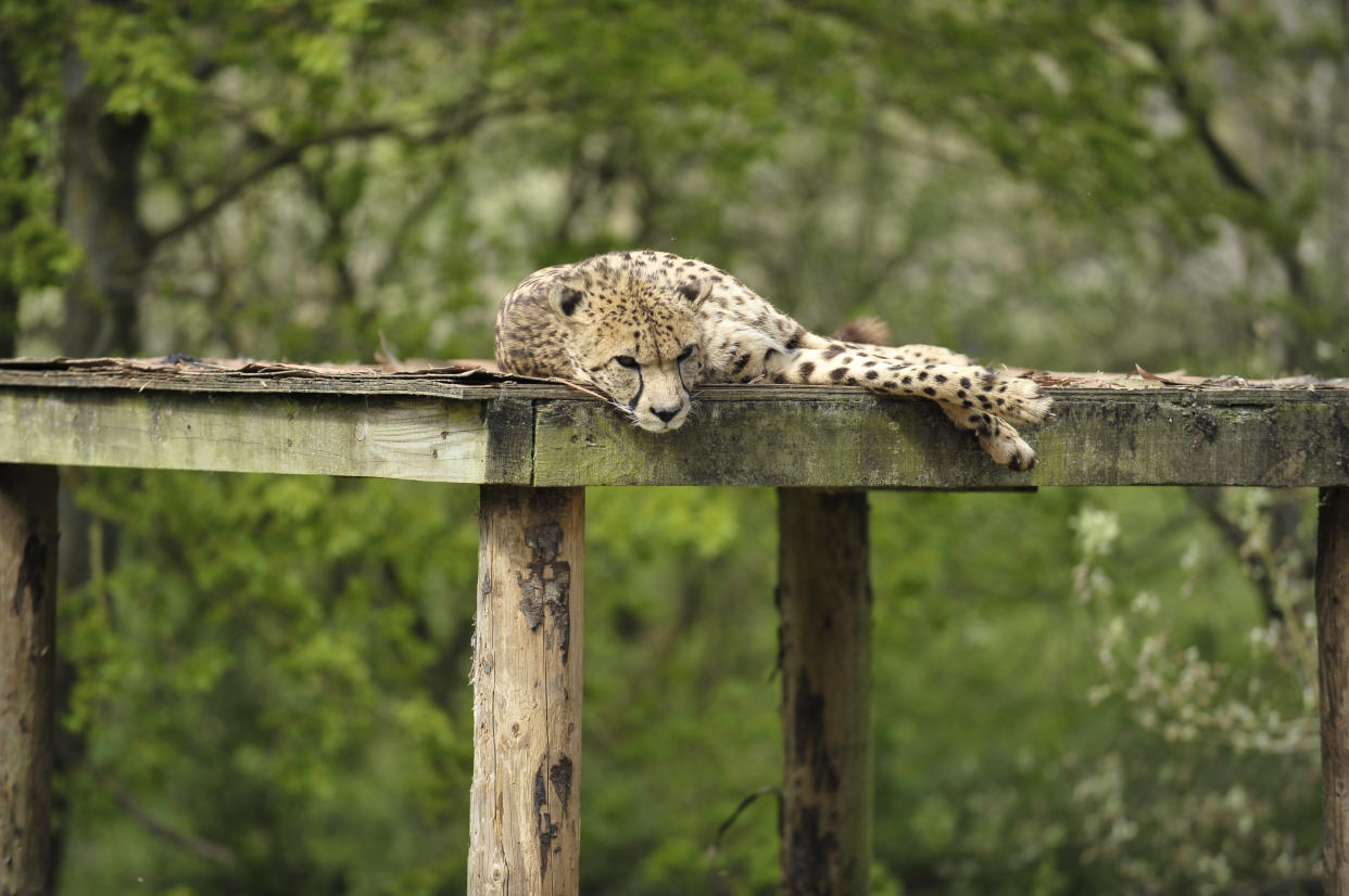 WINCHESTER, UNITED KINGDOM - APRIL 30: A cheetah resting at Marwell Zoo, Winchester, April 30, 2010. (Photo by Simon Lees/Digital Camera magazine via Getty Images)