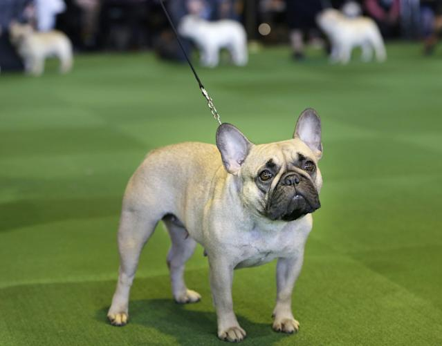 FILE - In this Feb. 16, 2015 file photo, a French bulldog competes at the Westminster Kennel Club show in New York. The French bulldog has bolted from 76th to fourth in just 20 years. It previously peaked at sixth in the 1910s and again in 2015-2016. (AP Photo/Seth Wenig, File)