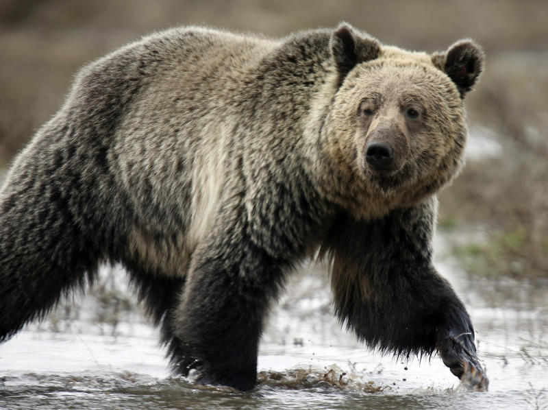 Grizzly Bears have been an endangered species but numbers have been increasing thanks to conservation efforts: Reuters
