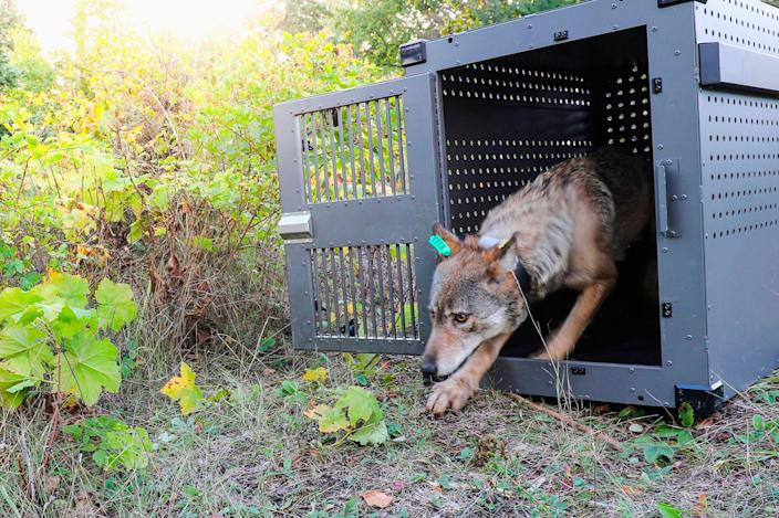 A 4-year-old female gray wolf emerges from her cage as it released at Isle Royale National Park in Michigan in Sept. 2018.