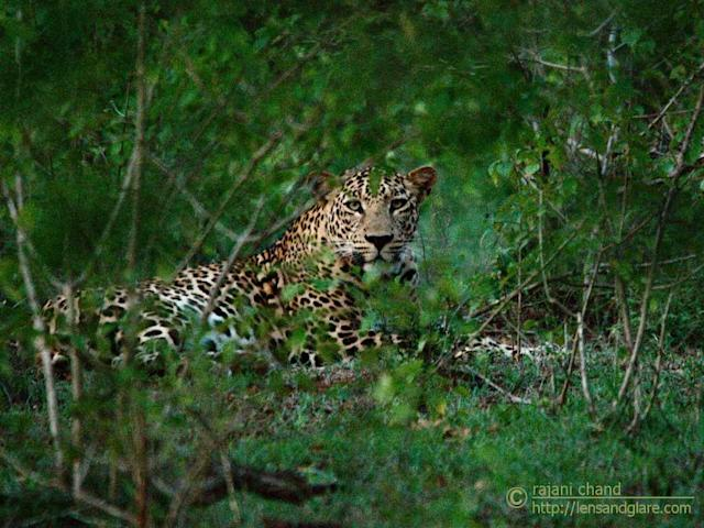 <b>Male leopard </b><br><br>Leopards are shy animals. This one gave us just a few seconds to shoot. It was crossing the mud road and paused there for a few seconds looking at us. Alas, I wasn't able to make a decent shot of it. The next moment it dashed into the bushes and climbed to the next level of inclination and sat on this safe lookout, still looking deep into our eyes, very much alert. A few more seconds and he just vanished into the forest. The lighting wasn't helpful and it was a pain to focus through the bushes.