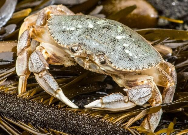A DFO officer found several undersized crabs discarded in the factory. (Jerry Kirkhart/Flickr - image credit)