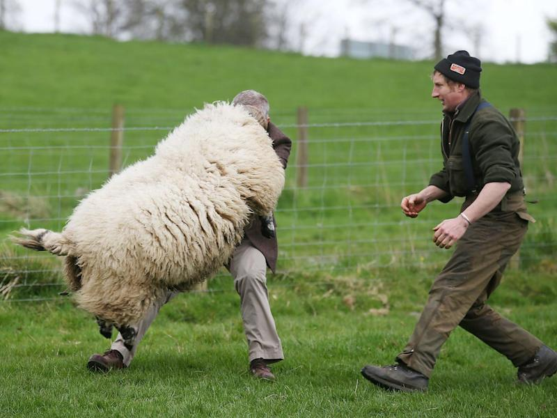 The MSP, with farmer Stuart McDougall, gets close to the ram during a visit to Mill House farm in Kelty, Fife (Andrew Milligan/PA Wire)