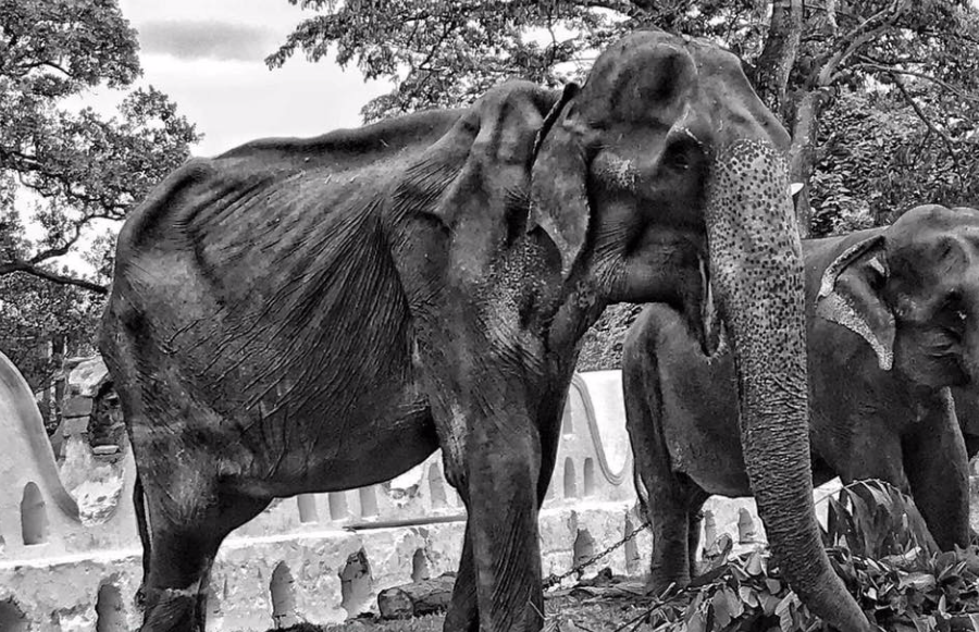 Tikiri the elephant has died months after shocking photos  of her emerged (Save Elephant Foundation)