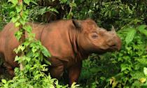 <p>This is the smallest rhinocerous species, found in Borneo and Sumatra. Only a few hundred remain in the wild. </p>